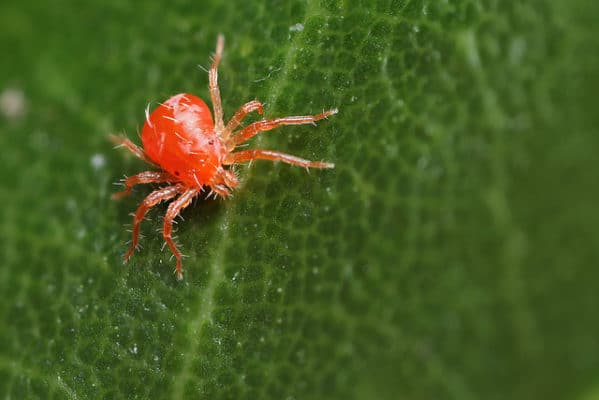Got Spider Mites on Your Cannabis Plants?