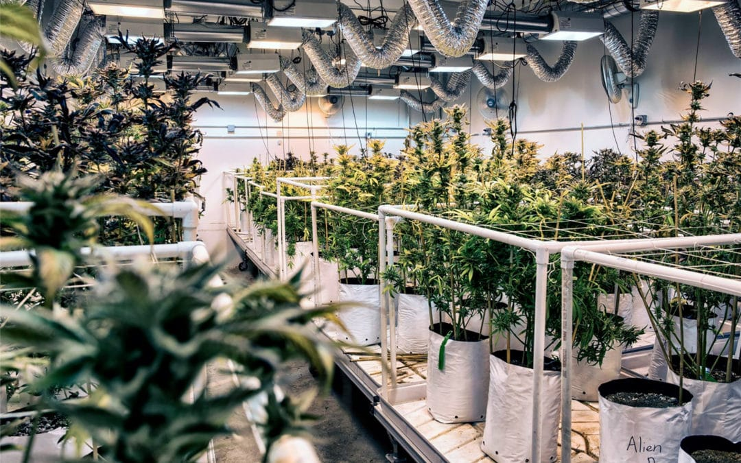 How to Become a Head Grower at a Denver Dispensary