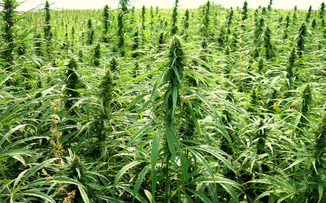 Hemp – From Illicit to Internationally Used