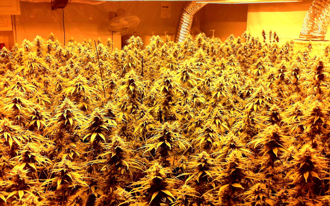 How to Grow Three Pounds of Weed Per Light