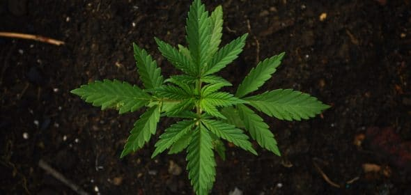 Marijuana seeds and clones can both produce great cannabis, but is one better than the other?