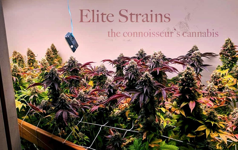 elite strains in the garden
