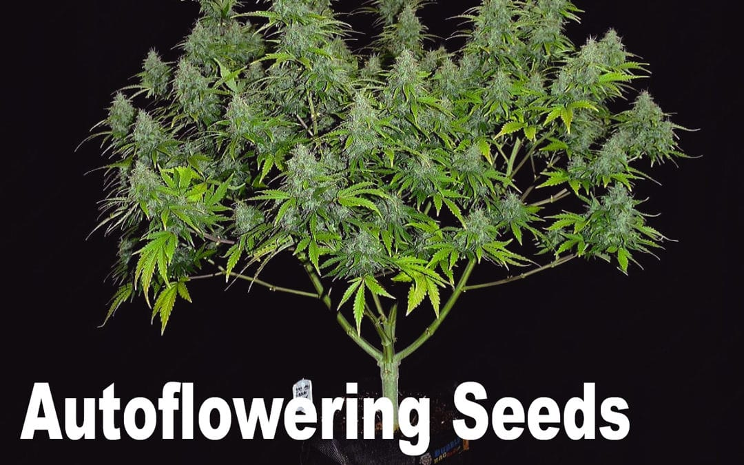 Autoflowering Seeds: For the grower in a hurry