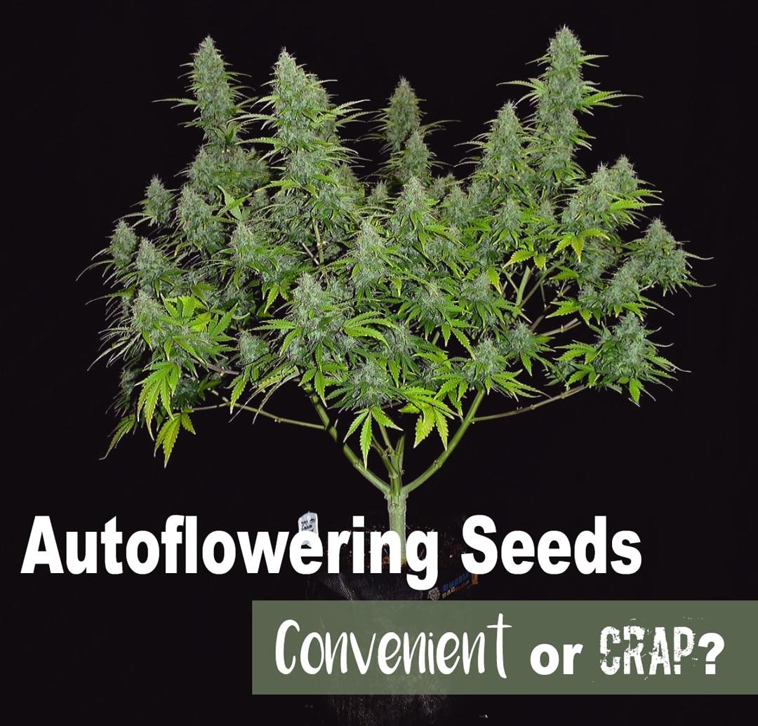 autoflowering seeds explained