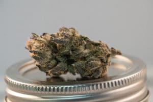 trimming cannabis the farmer way