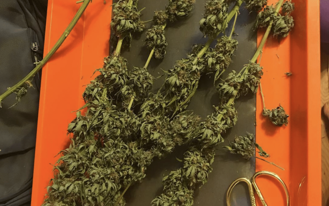 Trimming Cannabis: 3 ways to trim