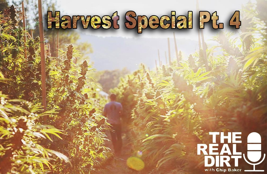 cannabis culture has developed into a community through harvest seasons past and present