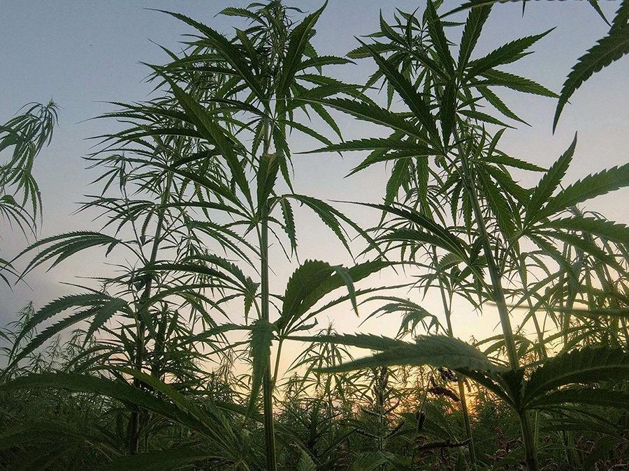 Legal Hemp or Illegal Cannabis?