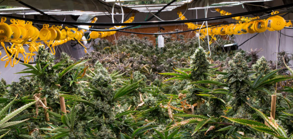 cannabis growers face a few different issues in the grow