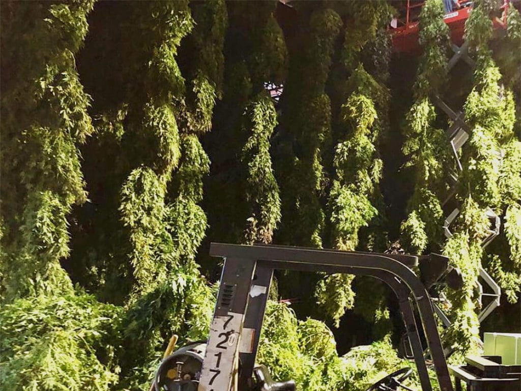 growing hemp and harvesting hemp in Alabama