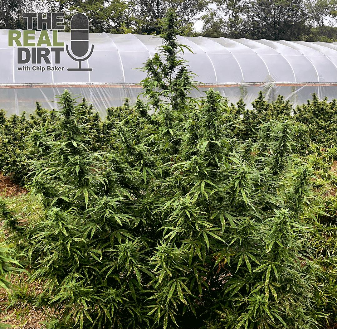 growing hemp in Alabama