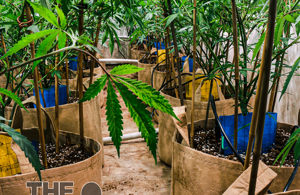 Do's and Don'ts of Outdoor Cannabis Clones