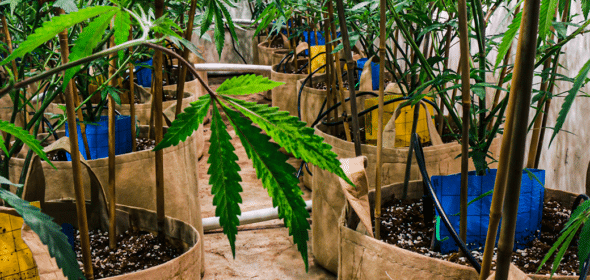 planting outdoor cannabis clones the right way