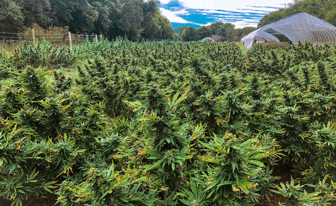 The Costs of Growing Organic Cannabis