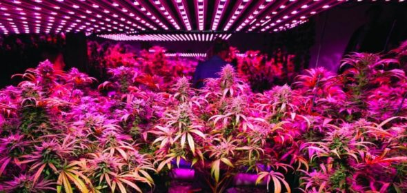 led lights for cannabis