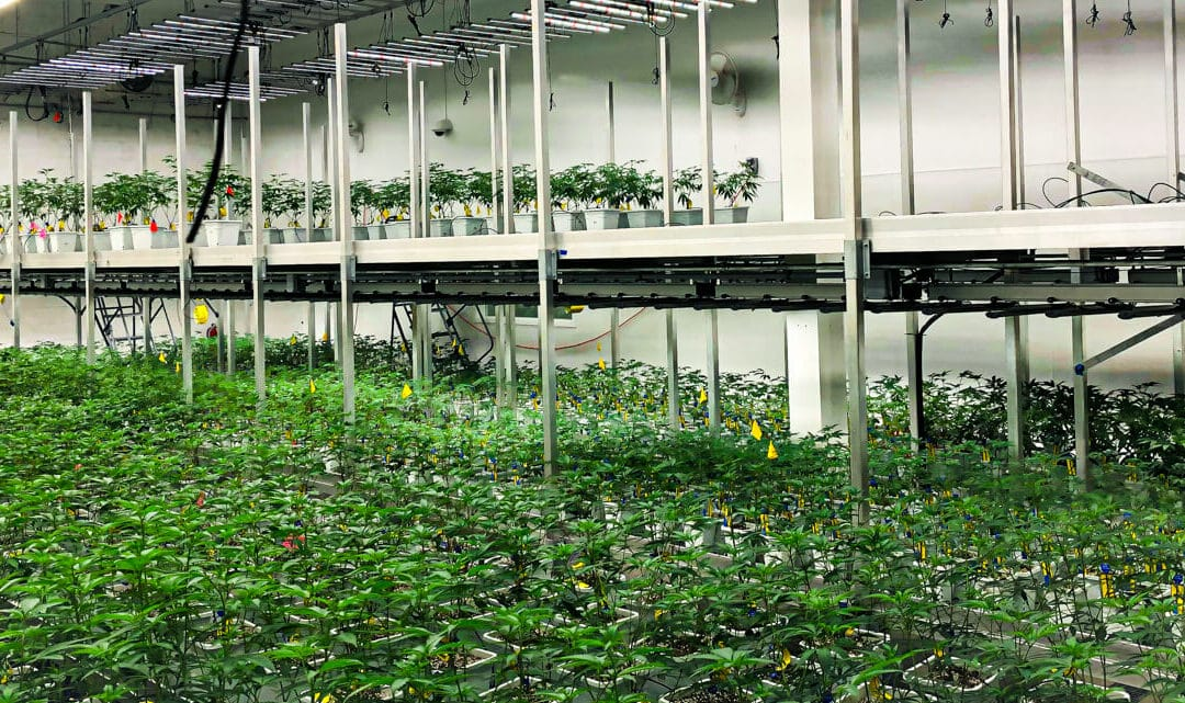 UK Cannabis Cultivation License Granted for First Time in Over 20 Years
