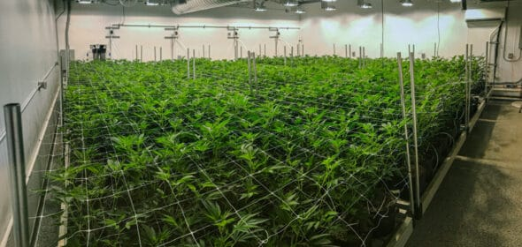 Using low stress training and high stress training to increase cannabis yields