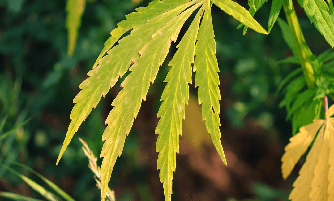 Anti-Marijuana Lawmaker Files Legalization Bill In North Dakota