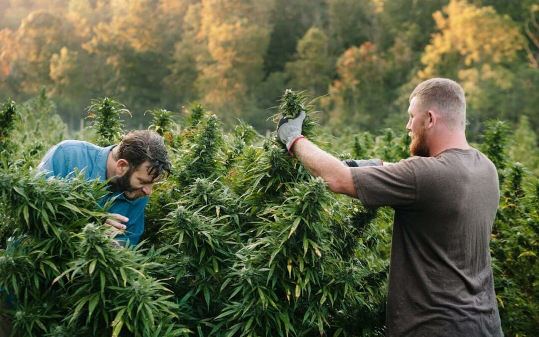US cannabis jobs surpass 321,000 full-time jobs