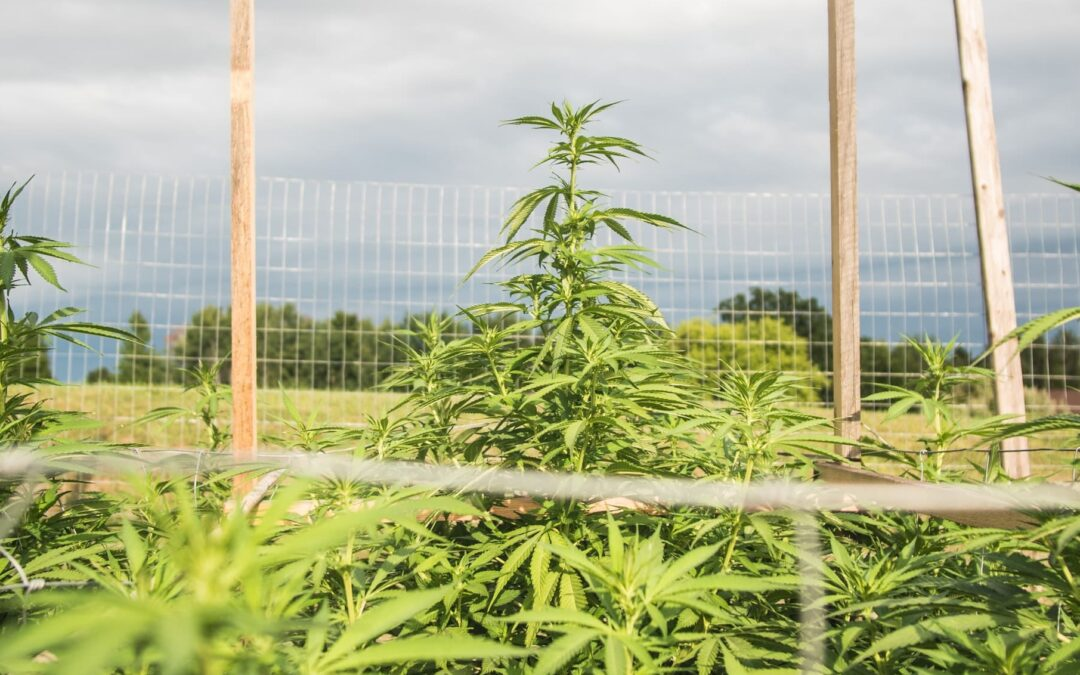 Colorado Hemp and Marijuana Growers at Odds Over Proposed Cannabis Farming Law
