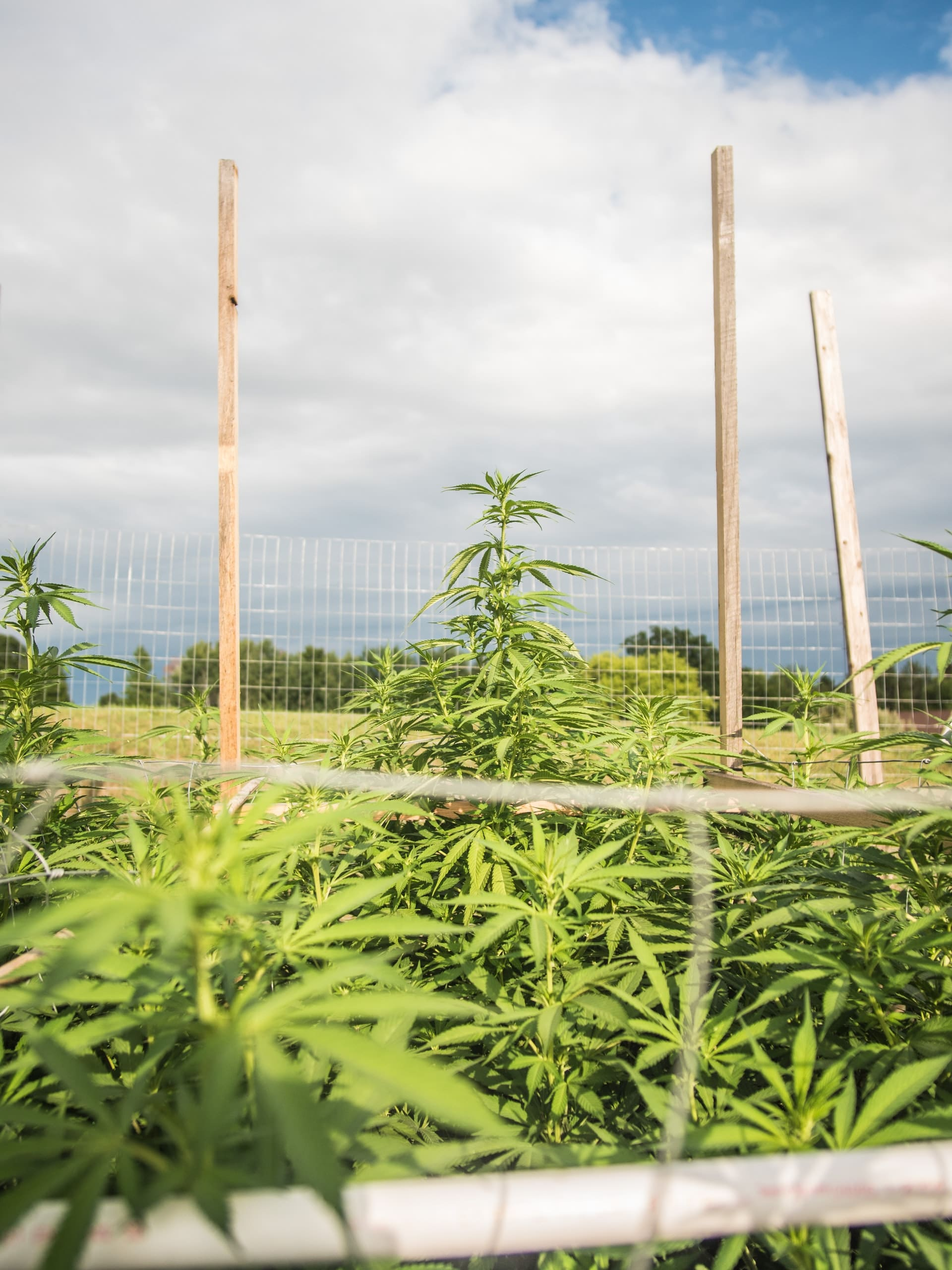 Colorado hemp and marijuana growers can't agree on new legislation to help farmers plan for weather