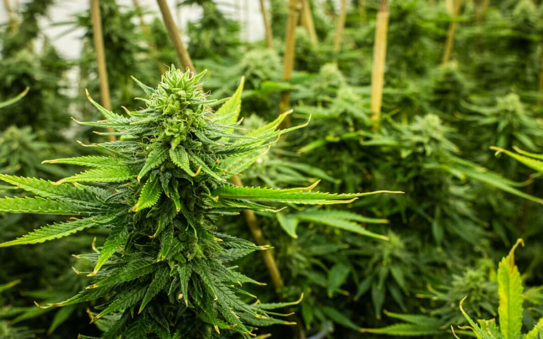 Rhode Island Cannabis Legalization Bill Passed by Senate