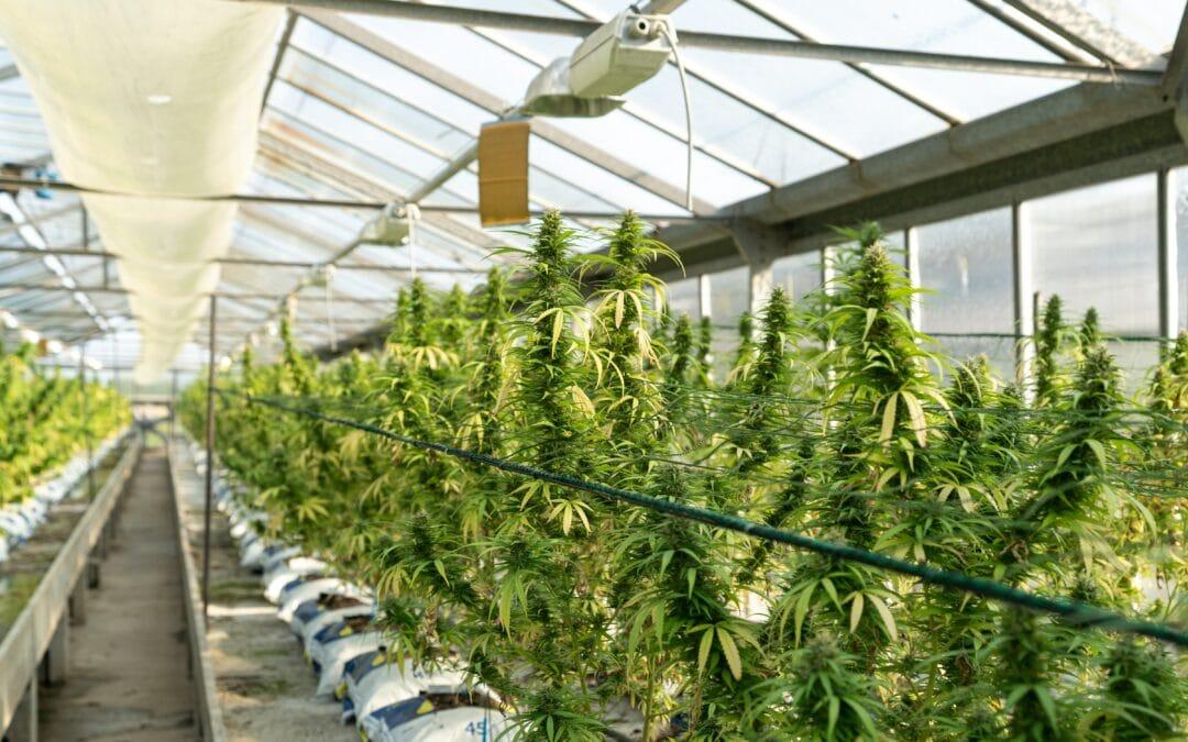California offers $100 million to rescue struggling legal marijuana industry