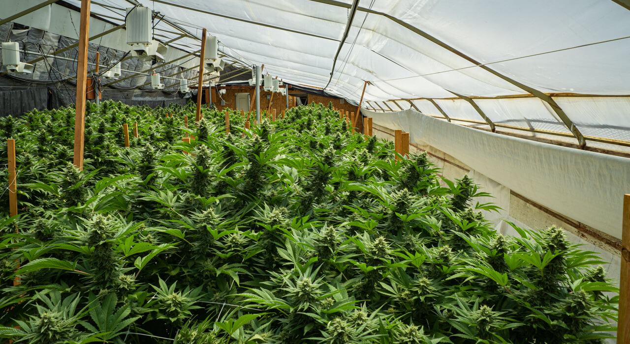 humboldt county gives out cannabis grant to farmers
